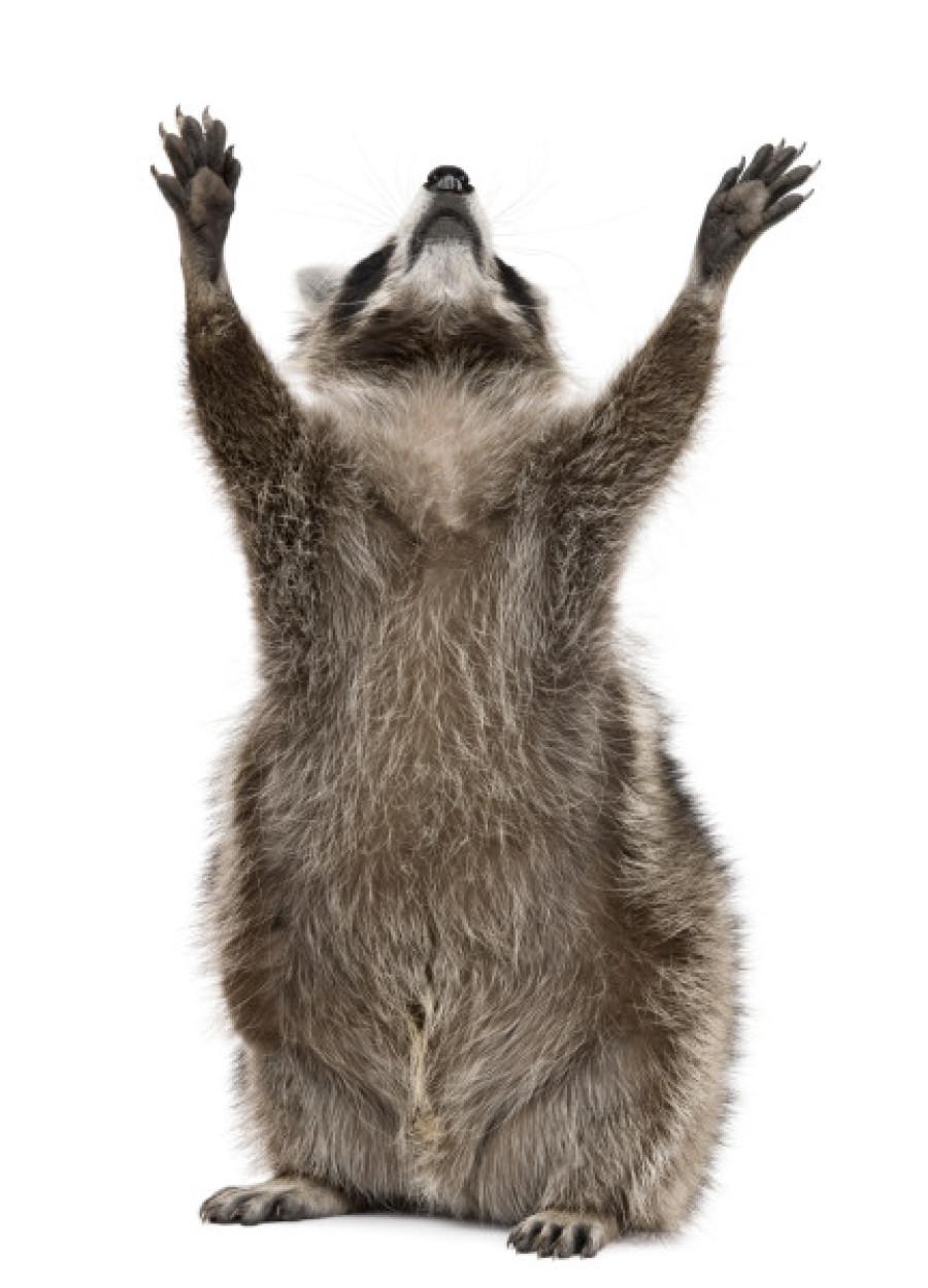 Raccoon white background